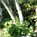 Uitlopende vijgenboom na vorstschade