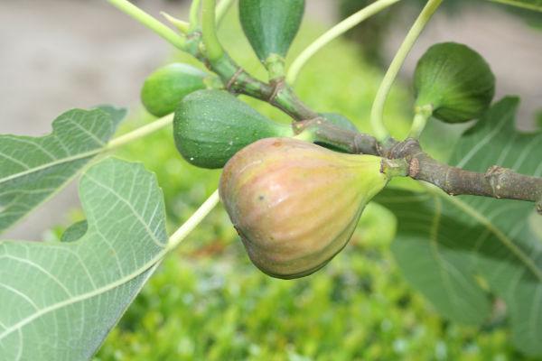 Nieuws over vijgen de lekkerst vijgen producten for Nep fruit waar te koop