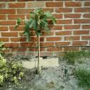 Vijgenboom tegen muur