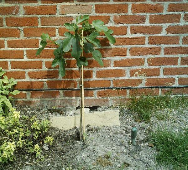 Kleine vijgenboom